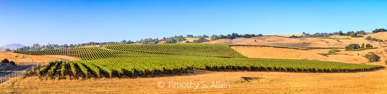Panoramic of Vineyards in Spring