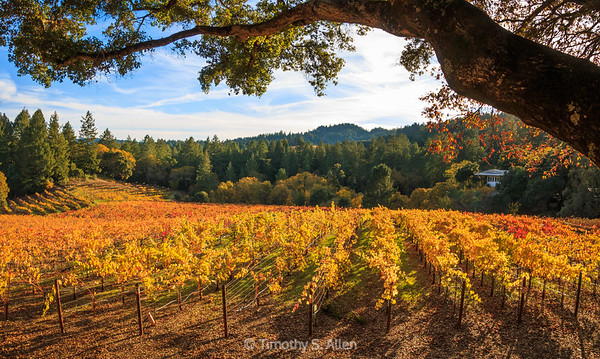 Grape Vines in all Their Splendor