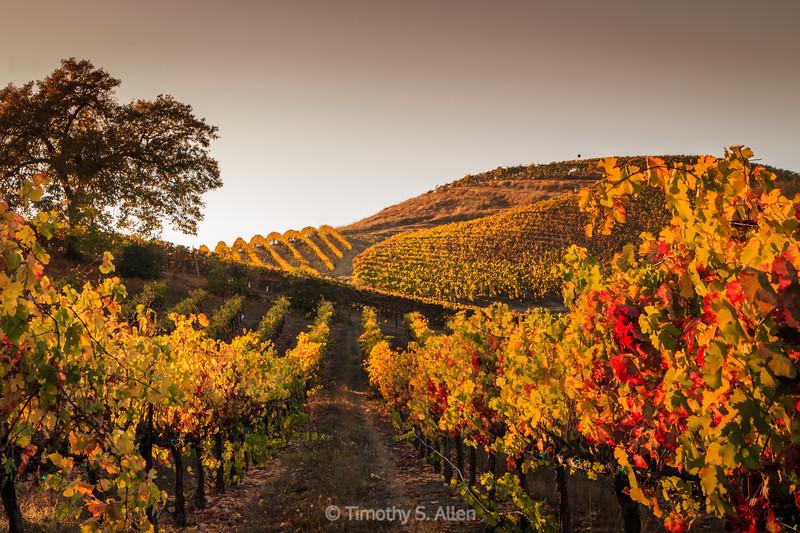 Golden Hour in the Vineyards