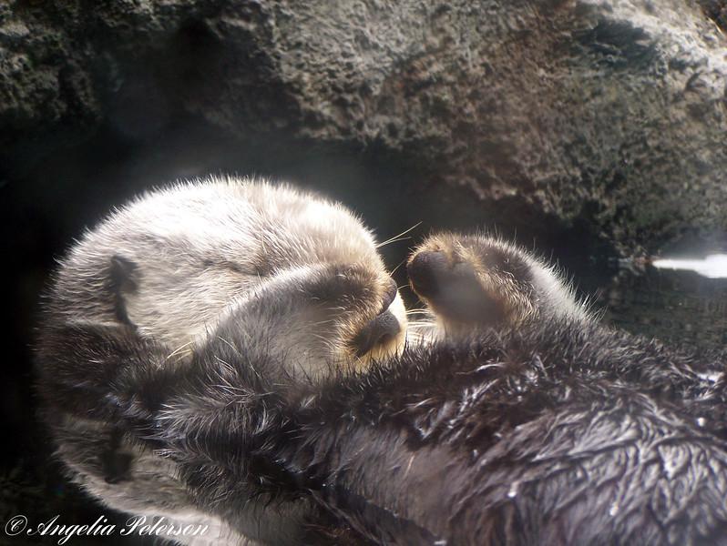 Pacific coast sea otter
