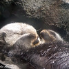 Pacific coast sea otter