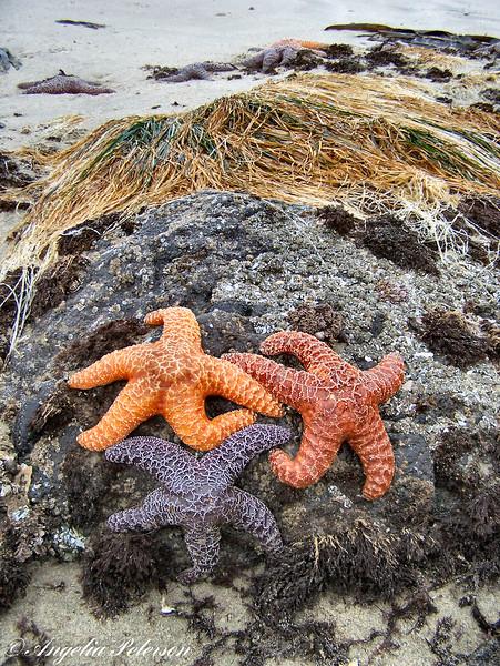 Three Sea Stars