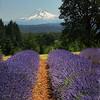 Mt. Hood lavender trail
