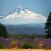 Mt. Hood lavender