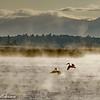 Pelican pair frolic
