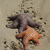 Sea star duo