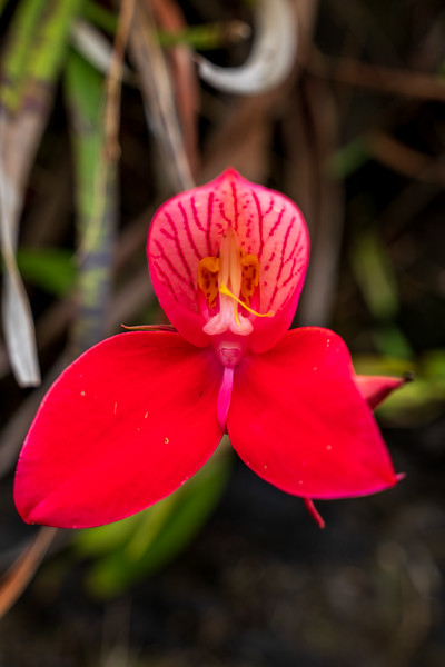 Red Disa, Table Mountain, Cape Town, South Africa