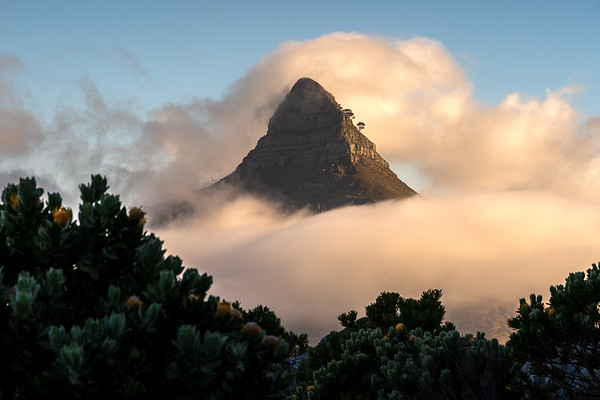 The lion, the fog and the pincushion, Cape Town, South Africa