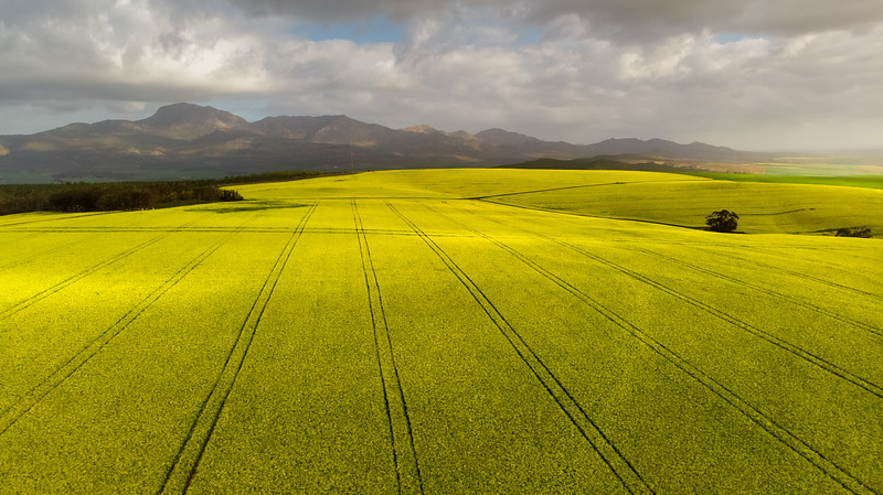 Canola fields 2020
