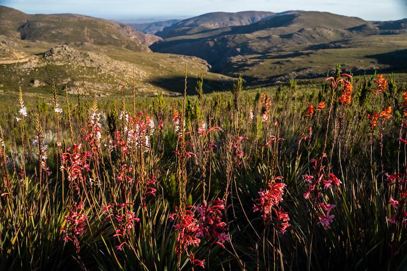 Watsonia folds, Swartberg Pass, Karoo, South Africa