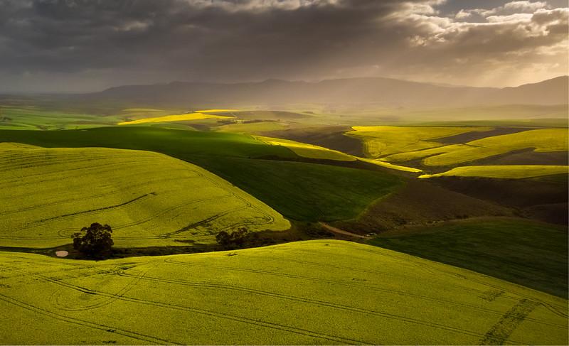 Canola fields 2020
