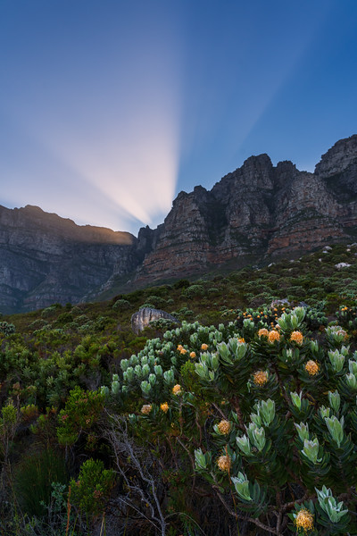 Protea light, Kasteelspoort hike, Table Mountain, South Africa