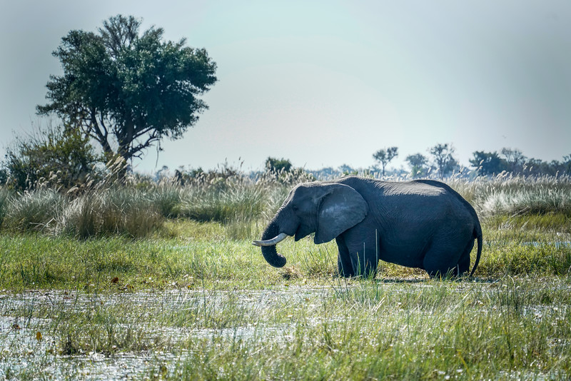 Male Okavango Elephant Grazing