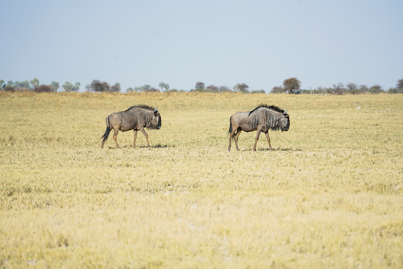 Wildebeest of the Kalahari