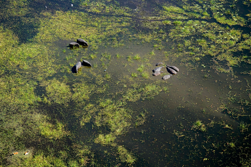 Hippos of the Okavango Aerial