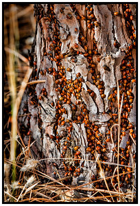 Lady Bugs at Convict Flat