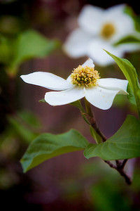 White Dogwood, Sierra City