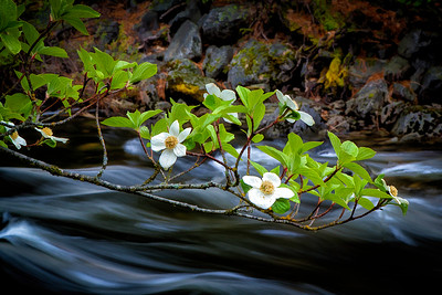 Dogwoods over the Merced River