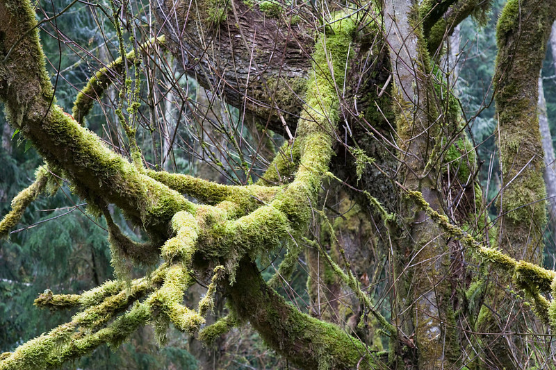 The enchanted forest of the Elwha River valley.