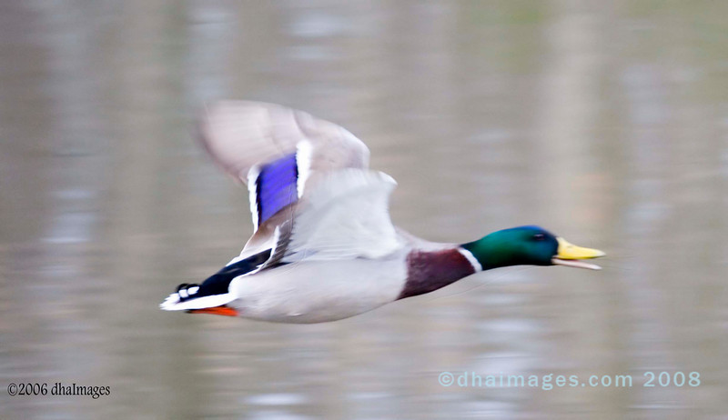Fast, Duck (1)