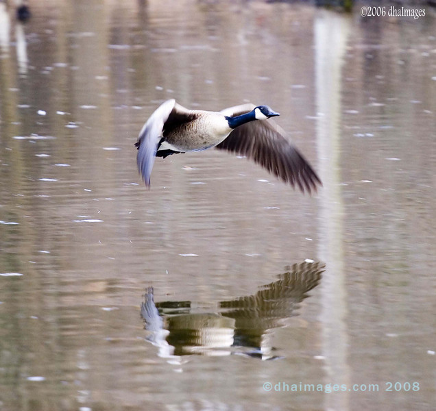 Hover Goose