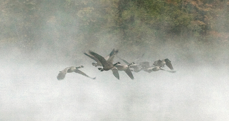20071031: take off +2  The mist was so dense that I could not really capture the first moments of the take off.  But I could hear it.  There was a cacophony of honking, so I simply aimed the camera and waited.  Suddenly they came out of the mist.  Because they were moving at such a sharp angle to my my vantage point, I was able to get this unusual view across the flock.