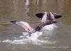 Wild Goose Chase 2