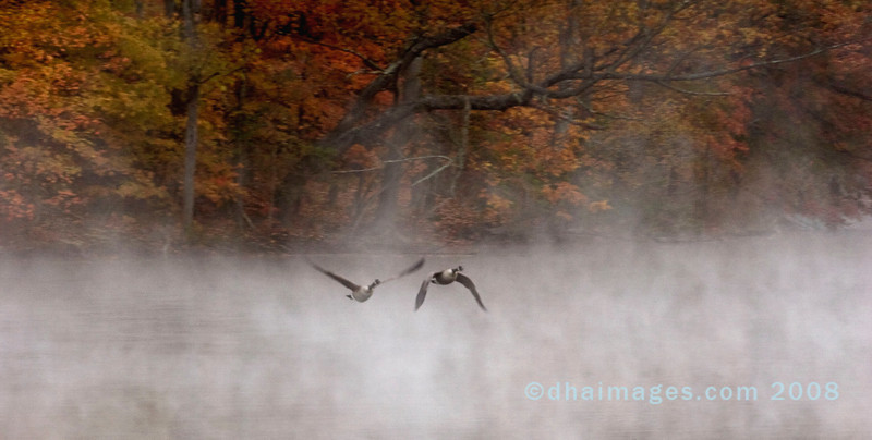 20071103: Eight seconds after the flock in the previous image departed, this lone couple took off. At this edge of the lake the mist was not quite as dense.