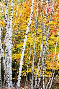 Birch Tree Stand