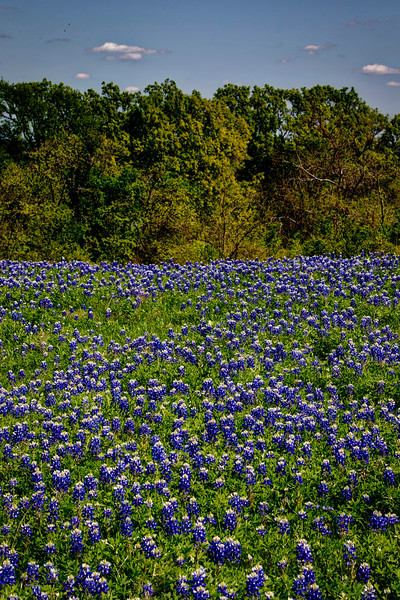 Field of Bluebonnets (Ennis, Texas)