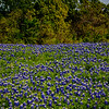Field of Bluebonnets (Ennis, Texas)