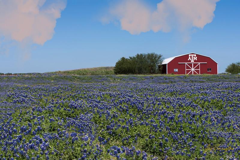 Texas Aggie Bluebonnets
