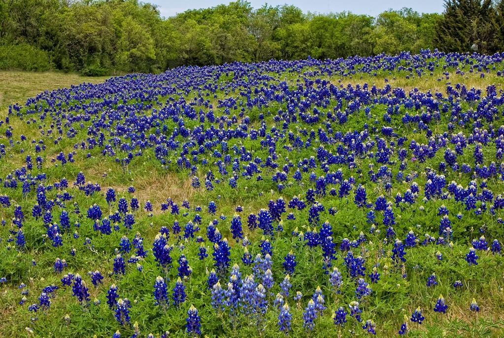 Bluebonnet Hill