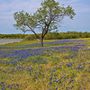 Bluebonnet Tree
