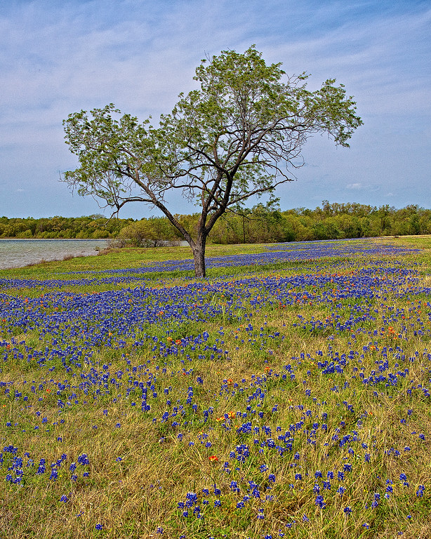Bluebonnet Tree