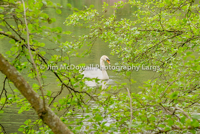 A single White swan at Rozelle Park In Ayr