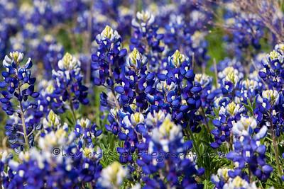 Texas Wildflower Image Gallery