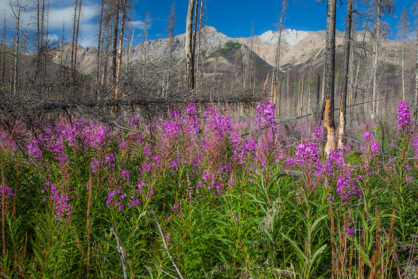 Fireweed in full bloom