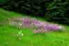 field of phlox