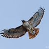 Red-tailed Hawk, Oregon