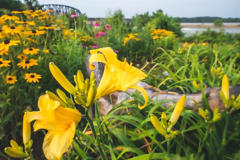 Daylilies, Black-eyed Susans, Purple Coneflowers