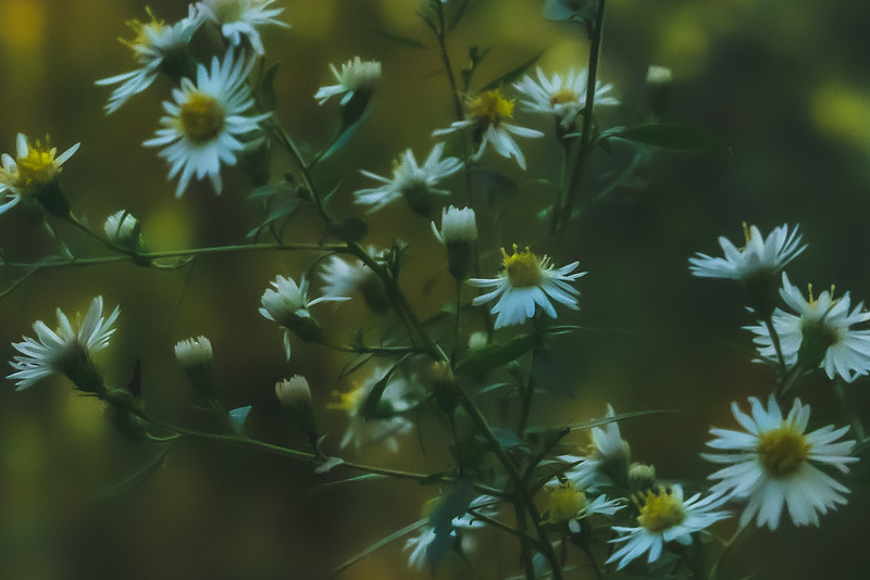 White-panicle Aster