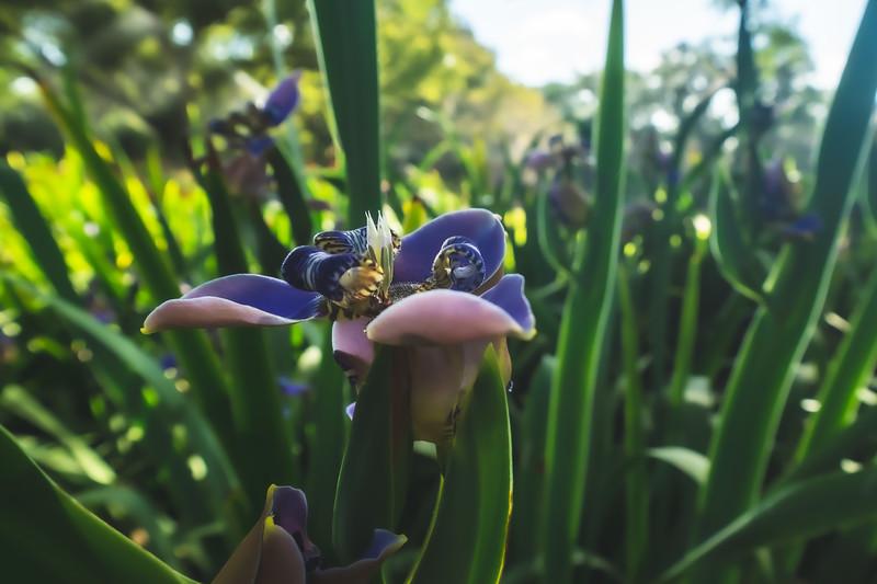 Walking Irises