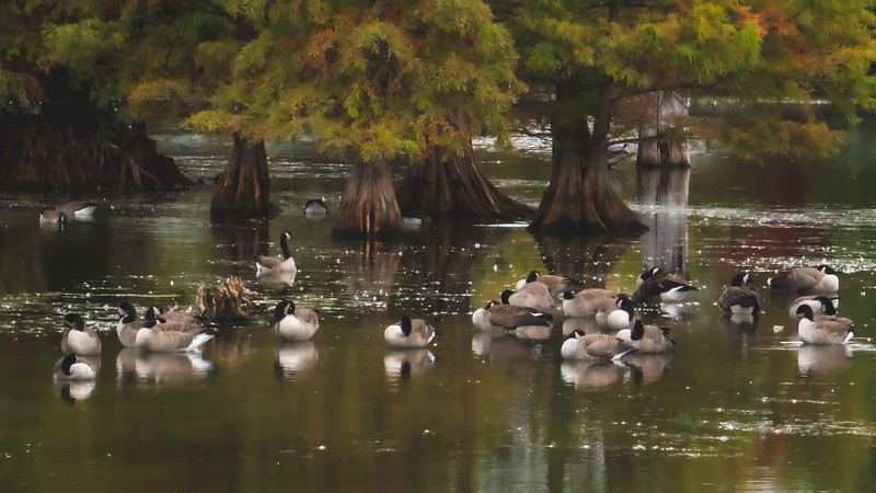Gaggle of Canadian Geese