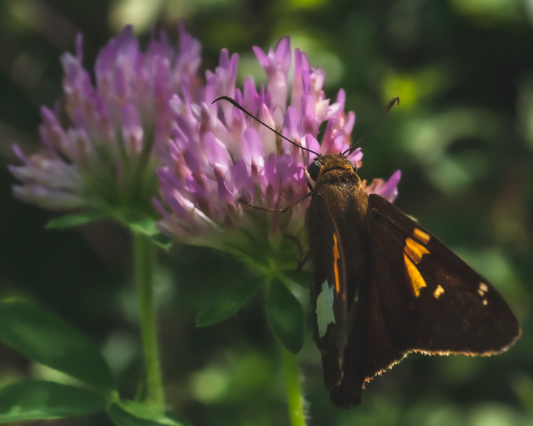 Red Admiral Butterfly on Red Clover