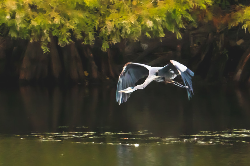 A Great Blue Heron in flight!