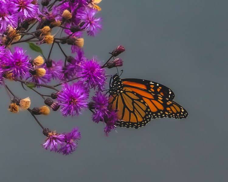 A Monarch Butterfly on Trumpetweed