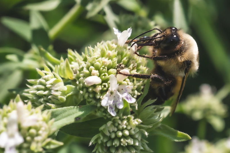 Bee on Clustered Mountain Mint