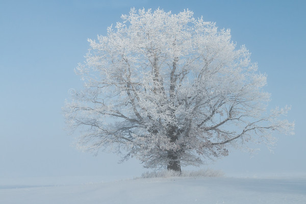 Hoar Frost covered Tree on a morning with low lying Fog