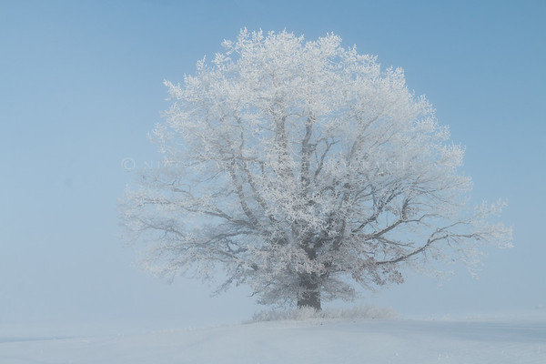 Lonely Tree -2  Hoar Frost